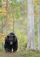 Eurasian brown bear, Ursus arctos in Kuhmo, Finland..