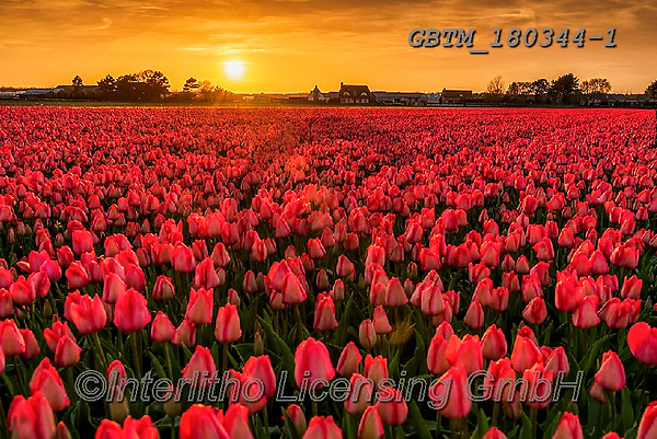 Tom Mackie, LANDSCAPES, LANDSCHAFTEN, PAISAJES, photos,+Dutch, Europa, Europe, European, Holland, Netherlands, Tom Mackie, atmosphere, atmospheric, bloom, blooming, blossom, blossom+s, botanic, botanical, color, colorful, colour, colourful, flower, flowers, horizontal, horizontals, landscape, landscapes, m+ood, moody, orange, peace, peaceful, pink, red, scenery, scenic, season, spring, sunrise, sunrises, sunset, sunsets, time of+day, tourist attraction, tranquil, tranquility, tulip, tulips, yellow,Dutch, Europa, Europe, European, Holland, Netherlands,+,GBTM180344-1,#l#, EVERYDAY
