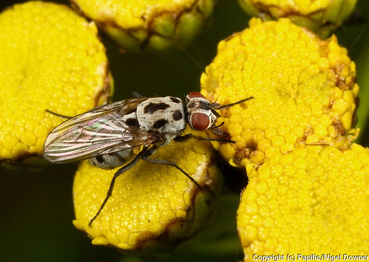 Close-up of a Anthomyiid fly (Anthomyia procellaris) resting on tansy flowers in an open woodland habitat in Norfolk in summer.