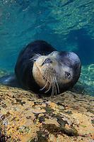QT0565-D. California Sea Lion (Zalophus californianus), adult male. Baja, Mexico, Sea of Cortez, Pacific Ocean.<br /> Photo Copyright &copy; Brandon Cole. All rights reserved worldwide.  www.brandoncole.com