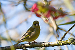 Carduelis chloris - male Greenfinch