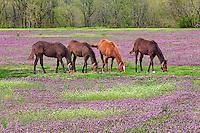 Horses grazing in field of henbit, Louisville, Kentucky