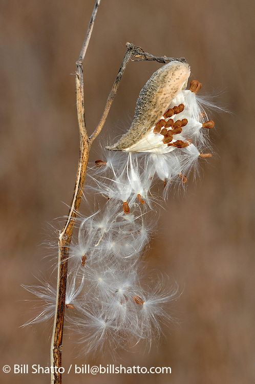 A milkweed plant spreads its seeds.