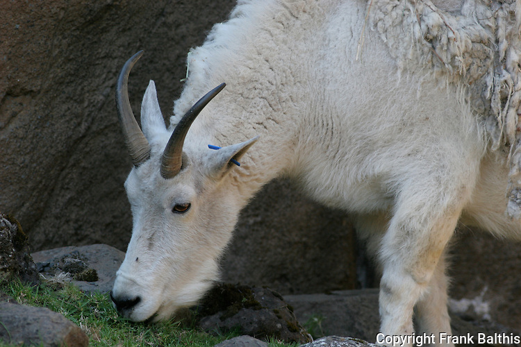 mountain goat eating, tag in ear