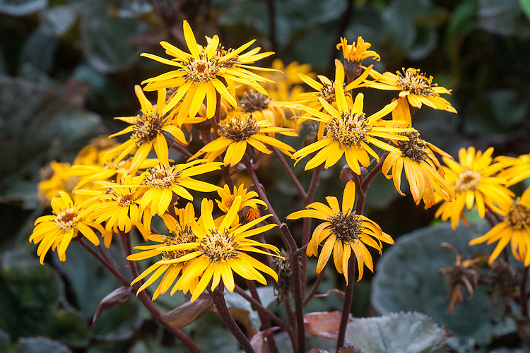 Ligularia dentata 'Britt Marie Crawford', early September. Commonly known as golden groundsel. Named after a Swedish doctor who married a Scottish army officer, Captain James Crawford. She identified the dark-leaved cultivar amongst a batch of Ligularia dentata 'Othello' in her garden at Naughton Castle, Dundee, Scotland.