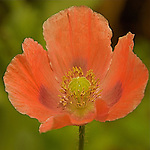 Close-up of the peach  colored Poppy (Papaver orientale ) flower with the green background.