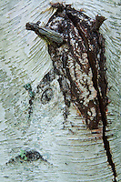 Bark Abstract, Castine, Maine, US