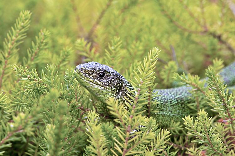 Green Lizard - Lacerta bilineata