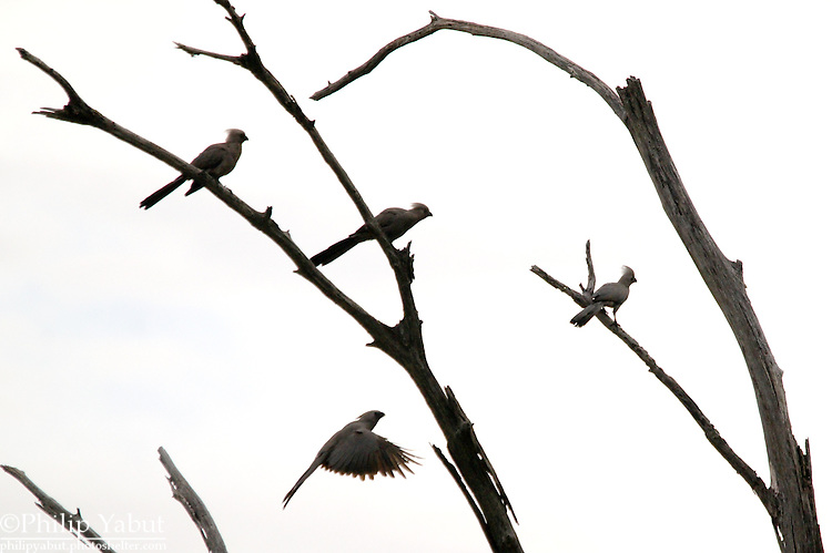 "The go-away-bird (Corythaixoides concolor), a.k.a. grey lourie, gets its name from it's call, which sounds just like ""go away."" <br />