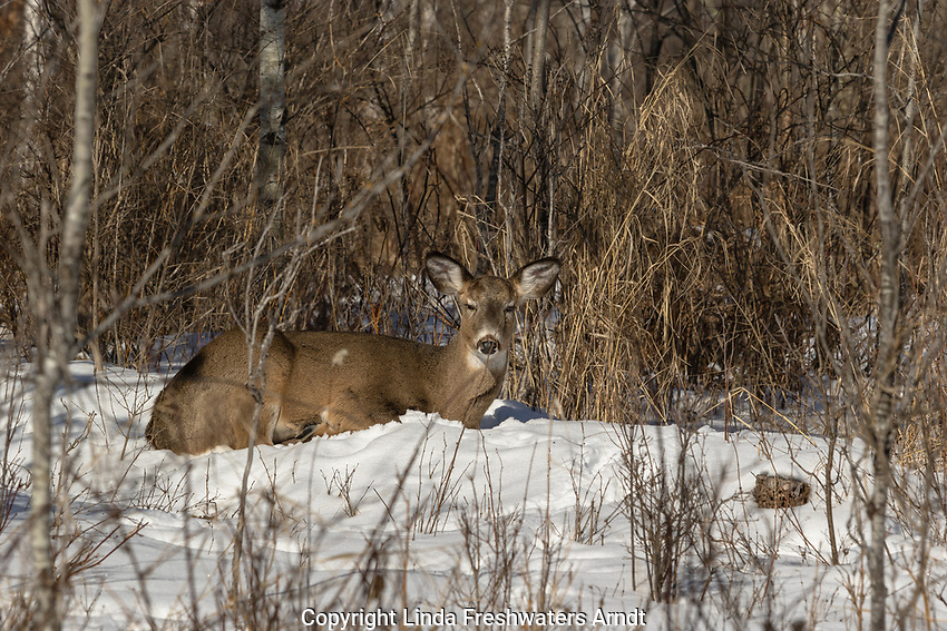 White-tailed deer bedded on a south-facing slope
