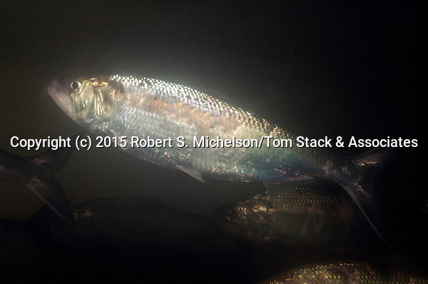 Single American shad swimming left in the Connecticut River, Holyoke, Massachusetts