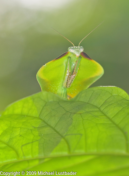Hooded Leaf Mantis (Choeradodis stalii)