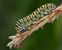 Black Swallowtail caterpillar AKA American or 'Parsnip' Swallowtail.