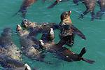 CA sea lions swimming