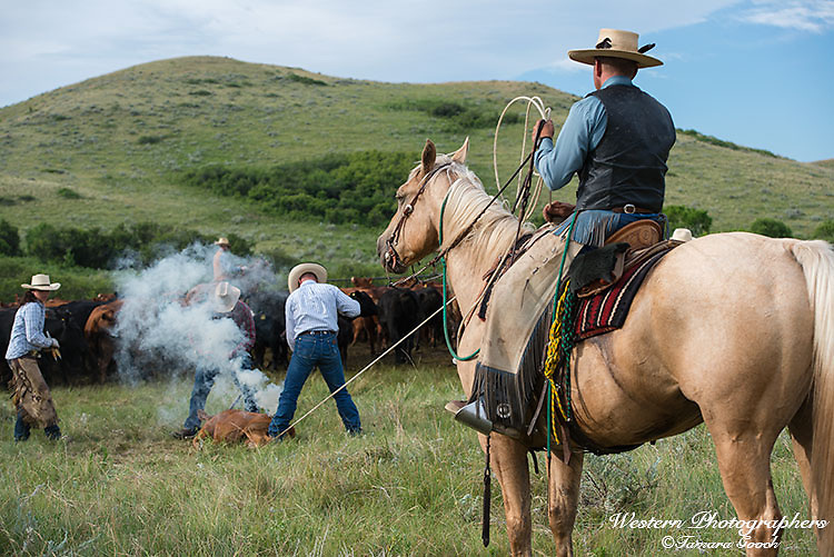 A photo of cowboys and cowgirls branding, ear tagging, vaccinating, de-horning and gelding, calves. Cowboy Photos, riding,roping,horseback