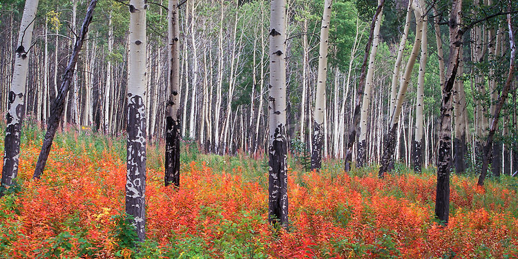 Beautiful grove of aspen trees amongst red and green barberry in Banff National Park in Alberta Canada