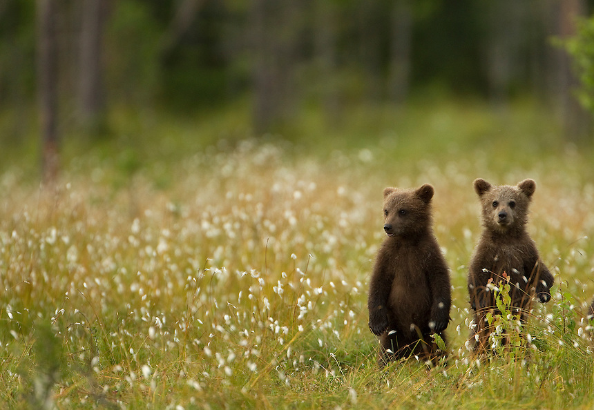 Brown Bear (Ursos arctos), cubs standing on their back legs, Finland, July 2012