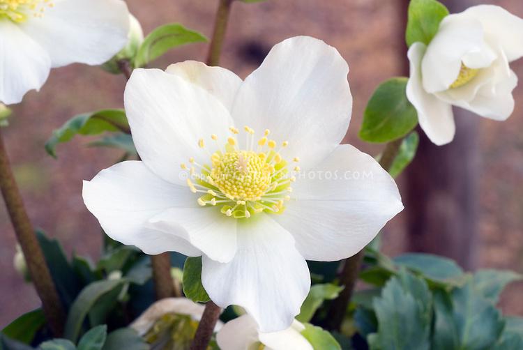 Helleborus Josef Lemper hellebore flowers aka Joseph Lemper