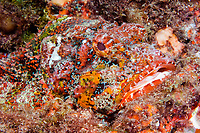 Spotted scorpionfish, Scorpaena plumieri, at Stetson Bank off Texas in the Gulf of Mexico.