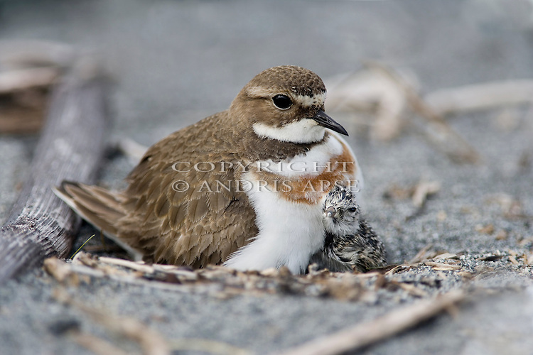 Banded Dotterel with newly hatched chick on nest. Okarito. Westland New Zealand