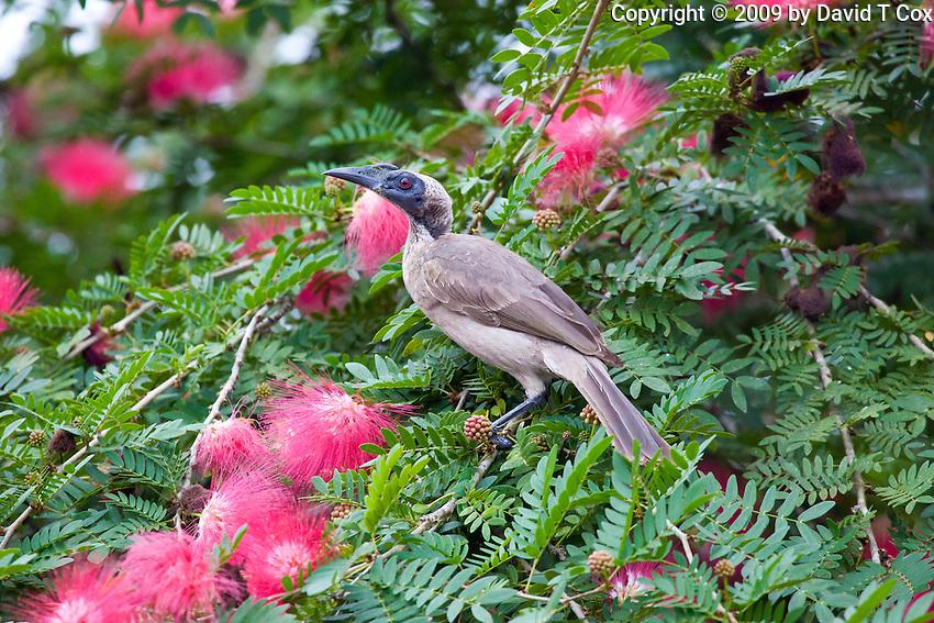 Helmeted Friarbird, Daintree River, Queensland, Australia