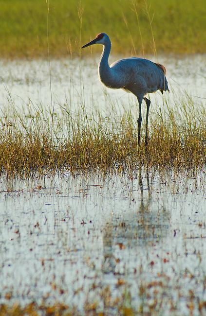 A Sandhill Crane wades through shallow water looking for food. East Lake Tohopekaliga, Osceola County, Florida