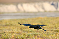 Raven on the tundra, arctic coastal plan, Arctic, Alaska.