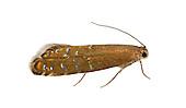 19.002 (0397)<br /> Glyphipterix thrasonella