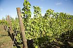 Muller Thurgau grape vines, Shawsgate vineyard, Suffolk, England