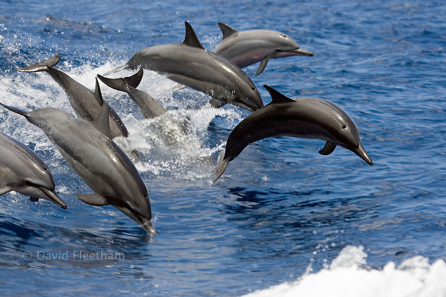 Seven spinner dolphin, Stenella longirostris, leap into the air at the same time, Hawaii.