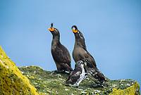 Crested and parakeet auklets, St. Paul Island, Pribilof Islands, Alaska.