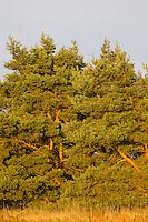 Wald-Kiefer, Waldkiefer, Gemeine Kiefer, Kiefern, Föhre, Pinus sylvestris, Scots Pine