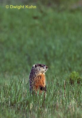 MA04-024z   Woodchuck - Marmota monax