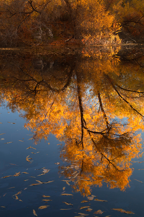 A cottonwood tree (Populus fremontii) reflects in Palm Lake at the Hassyampa Nature Preserve near Wickenburg