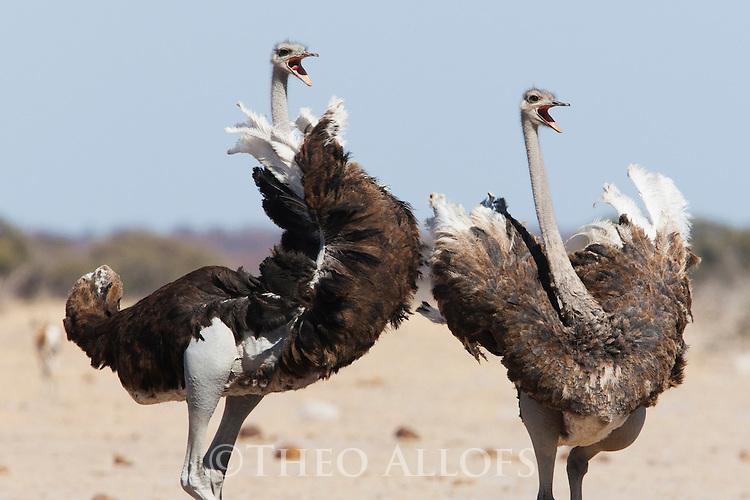 Botswana, Nxai Pan National Park, Kalahari, ostriches (Struthio camelus) fighting