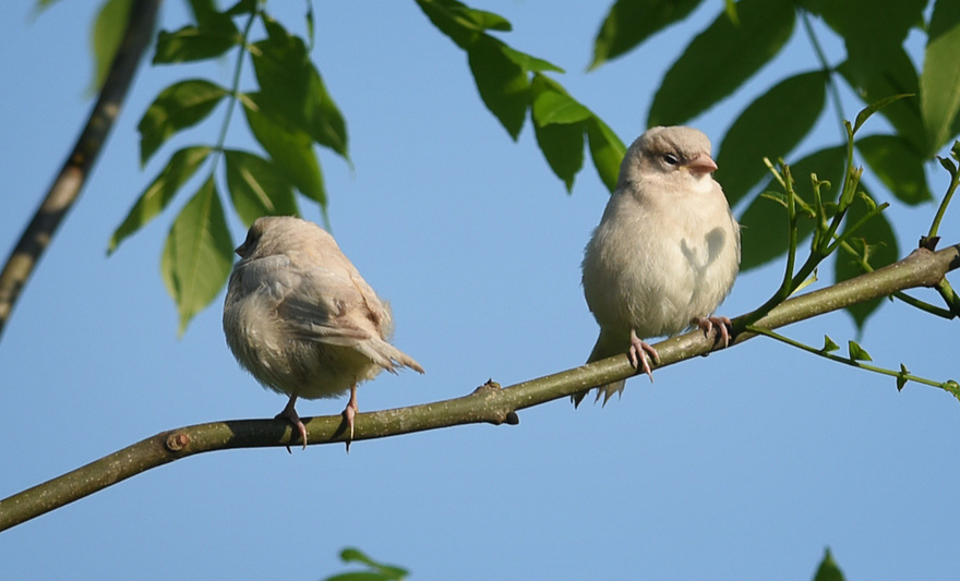 ALBINO HOUSE SPARROW FLEDGLINGS. PHOTO BY CLARE KENDALL. 07971 477316
