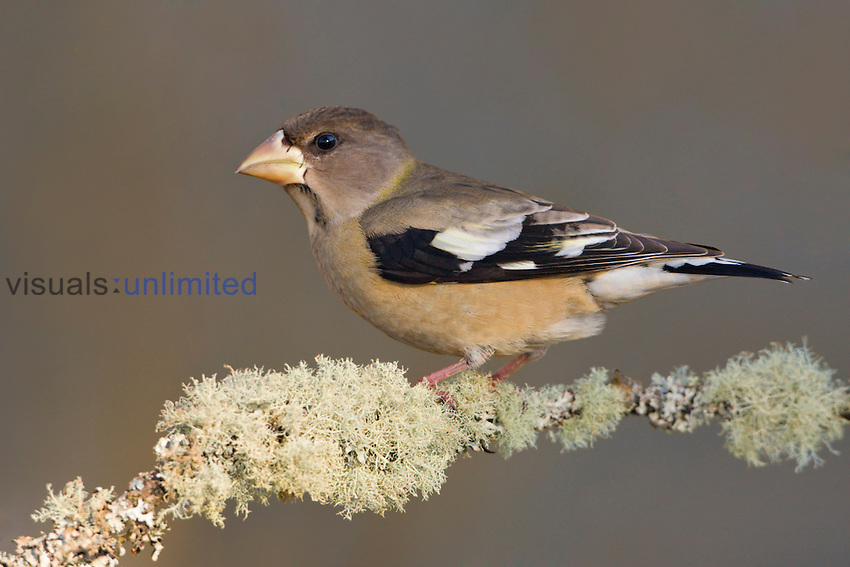Evening Grosbeak (Coccothraustes vespertinus) perched on a branch on Vancouver Island, British Columbia, Canada.