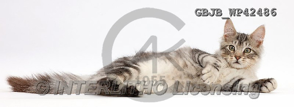 Kim, ANIMALS, REALISTISCHE TIERE, ANIMALES REALISTICOS, fondless, photos,+Silver tabby kitten, Loki, 3 months old, lying on his side and relaxing,++++,GBJBWP42486,#a#