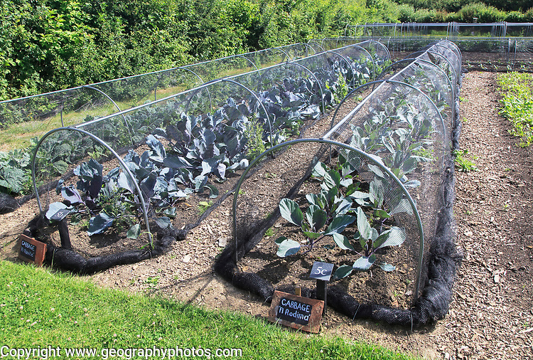 Cabbages growing under nets in vegetable garden, Sissinghurst castle gardens, Kent, England, UK