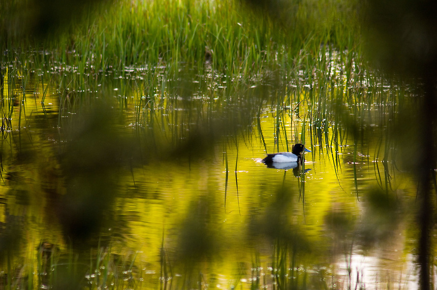 A duck paddles through a small marsh near Yellowstone Lake in Yellowstone National Park, Monday, May 30, 2005. (Kevin Moloney for the New York Times)