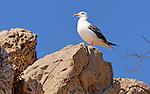Seagull, Newport Beach, CA.
