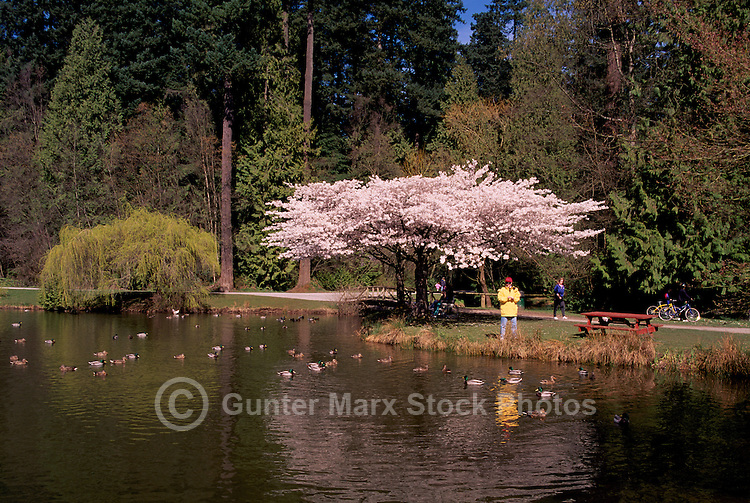 Central Park, Burnaby, BC, British Columbia, Canada - Woman feeding Mallard Ducks in Lake, Spring (Model Released)