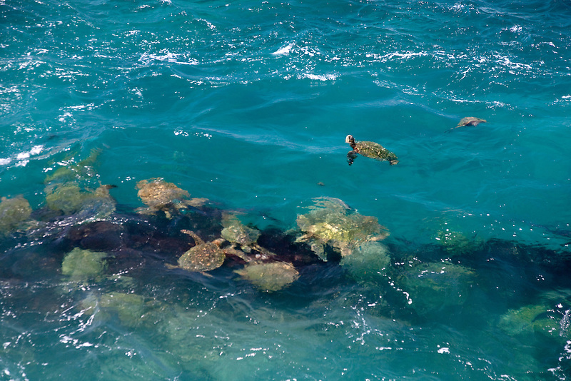 Green Sea Turtles (Chelonia mydas). Kauai coast, Hawaii