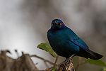 Red-shouldered Glossy-Starling (Lamprotornis nitens), Kruger National Park, South Africa