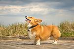 Corgi dog.