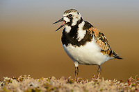 Adult female Ruddy Turnstone (Arenaria interpres) in breeding plumage giving alarm call. Yukon Delta National Wildlife Refuge. Alaska. June.