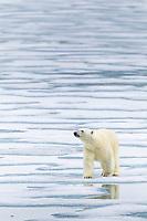 Polar bear on the pack ice in the Svalbard archipelago.