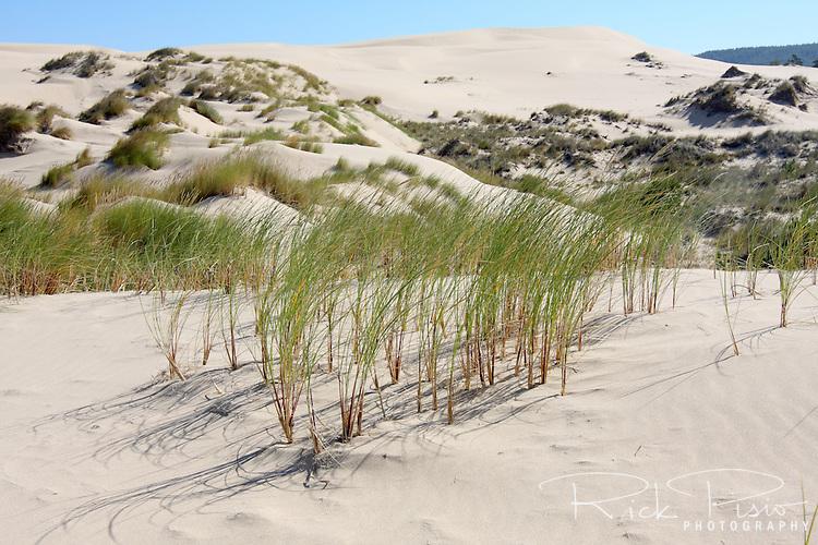 Dune grass at Oregon Dunes  National Recreation Area.