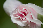 Flower closeup, wild shrub rose