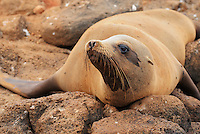Galapagos Sea Lion (Zalophus wollebaeki), adult at beach, Espanola Island, Galapagos, Ecuador, South America